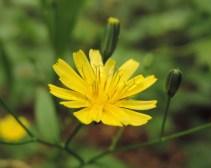 bloem-akkerkool