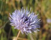 bloem zandblauwtje