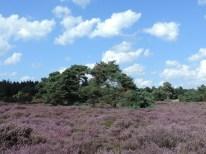 bloeiende struikheide boswachterij echten 2
