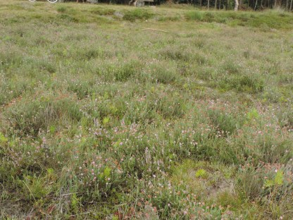 begraasde oudere dopheide vegetatie 3