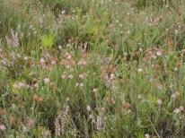 begraasde oudere dopheide vegetatie 5