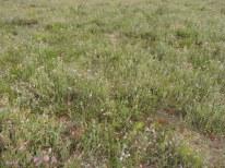 begraasde oudere dopheide vegetatie 7