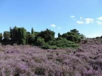 bloeiende struikheide boswachterij ec