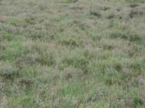 dopheide en gras vegetatie