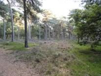 kraaiheide en struikheide in bos