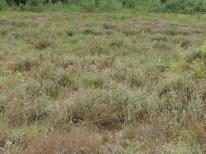 oudere natte dopheide vegetatie 1