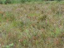 oudere natte dopheide vegetatie 4