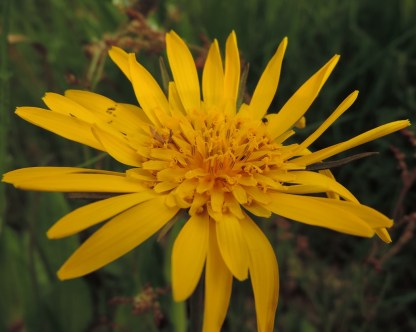 bloem morgenster 1