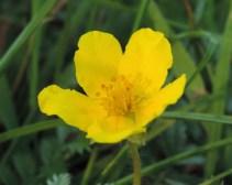 zilverschoon bloem 1