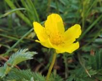 zilverschoon bloem