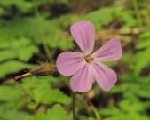 Geranium robertsianum 3