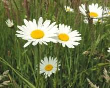 bloemen margrieten (2)