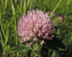 bloemen van de rode klaver (3)