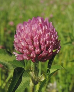bloemen van de rode klaver (4)