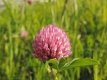 bloemen van de rode klaver (6)