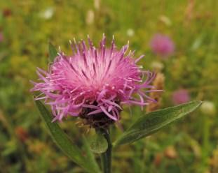 knoopkruid met minder ontwikkelde lintbloemen (4)