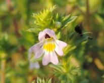 bloem ogentroost 5