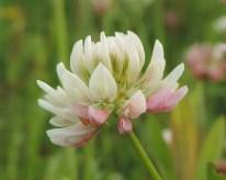 witte klaver met een ros tintje (2)