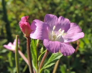 bloem-harig-wilgenroosje-3