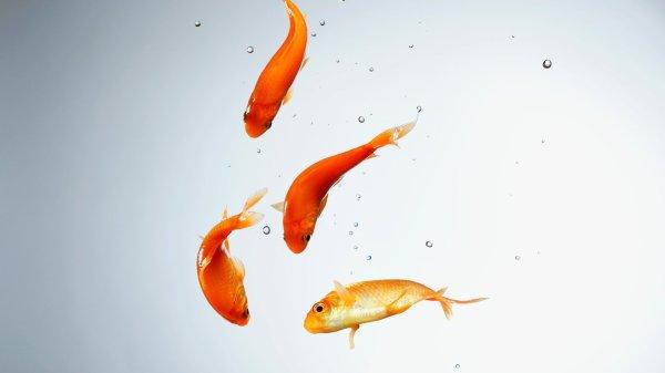 золотая рыбка 187 Оформление Windows 7810 темы гаджеты