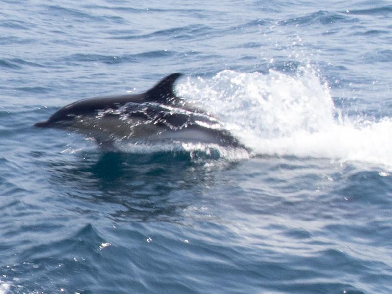 Delphinschule: Speed