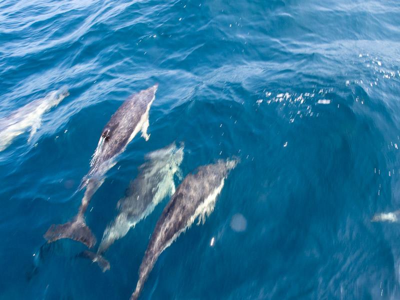 Delphinschule: Schwimmer unter Wasser