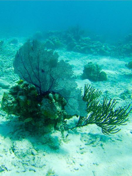 Culebrita Schnorcheln: Unterwasserlandschaft mit Fächerkoralle