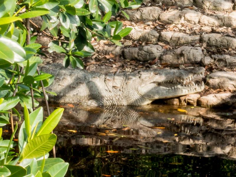 Everglades: Salzwasser Krokodil