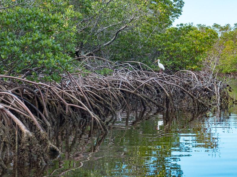 Mangroven im Shark Creek. Näher sind wir leider nicht an den Vogel heran gekommen