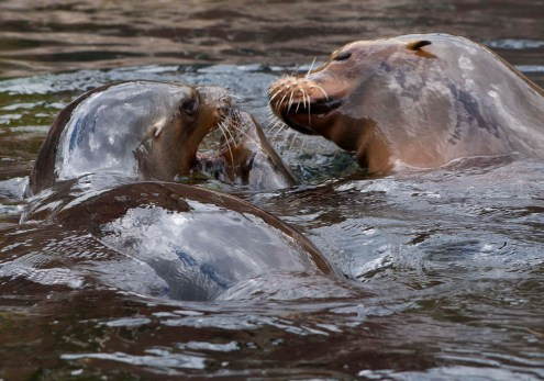 Sea Lions, Central Park Zoo, NYC