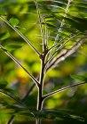 Branching plant