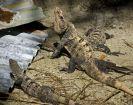 Iguanas, Belize
