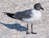 Laughing gull (?)