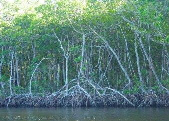 Red mangroves line the banks