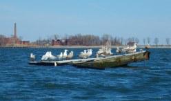 Gull raft, with Hart Island behind