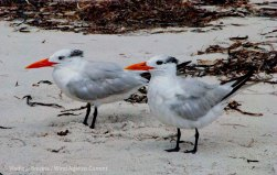 St. Pete Beach birds 15