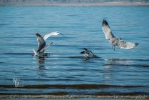 Ring-necked Gulls