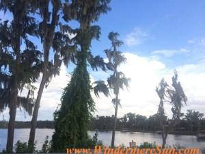 Windermere Spanish moss (credit: Windermere Sun-Susan Sun Nunamaker)