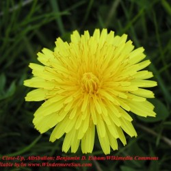 Dandelion_close-up Attribution Benjamin D. Esham Wikimedia Commons