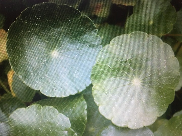 Natural Organic Way To Rid Of Dollar Weeds - Windermere Sun-For