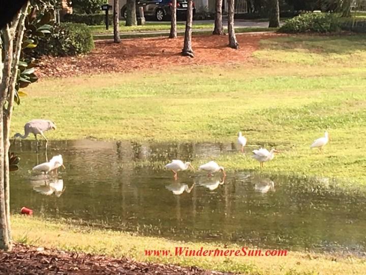 Cranes by water (credit: Windermere Sun-Susan Sun Nunamaker)