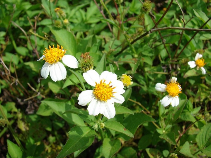shepherds-needlesbidens-alba-var-radiata-flowers-and-leaves-location-midway-atoll-old-fuel-farm-sand-island-cc-author-forest-and-kim-starr-final
