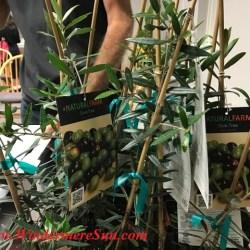 Olive Plants/Trees from A Natural Farm (credit: Windermere Sun-Susan Sun Nunamaker)