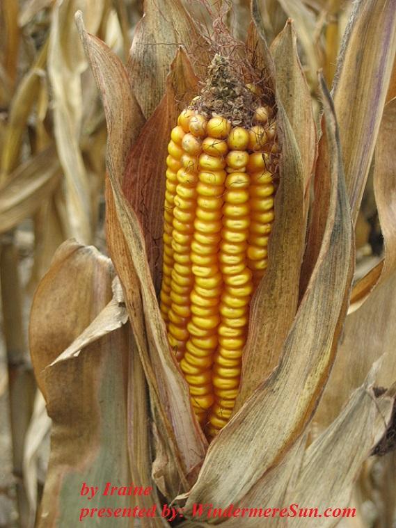 Dried Corn (credit: Iraine)