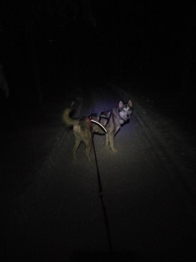 alaskan malamute without fur