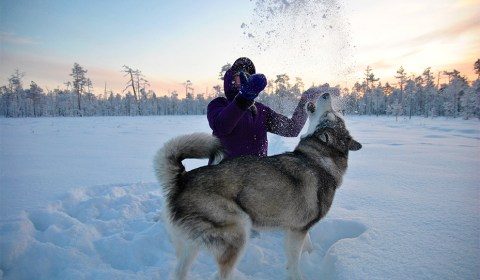 Winter landscape in Lapland, Finland. Snow games with an alaskan malamute