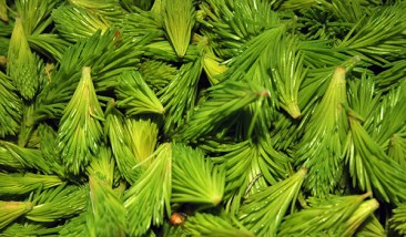 spruce shoots02