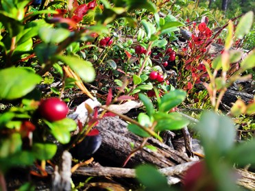 Lingonberries in Lapland