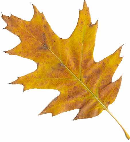 Image result for oak  leaves