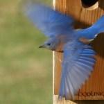 Adult Bluebird